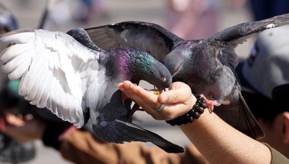 Karmienie gołębi jako akcja solidarności z Chabarowskiem